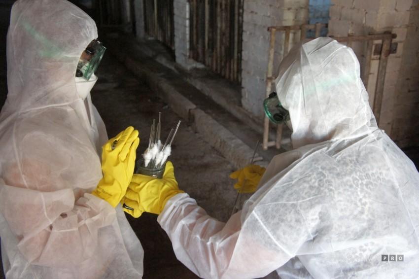 Африканская чума свиней может вернуться в Тверскую область