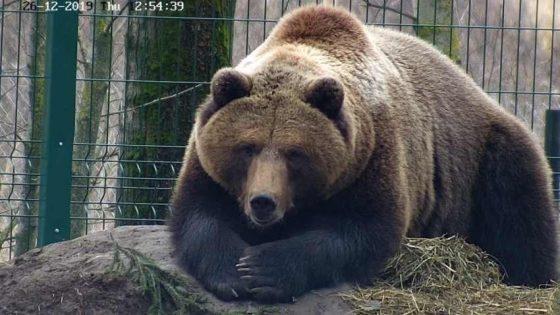 Тверской медведь Мансур не спит и толстеет