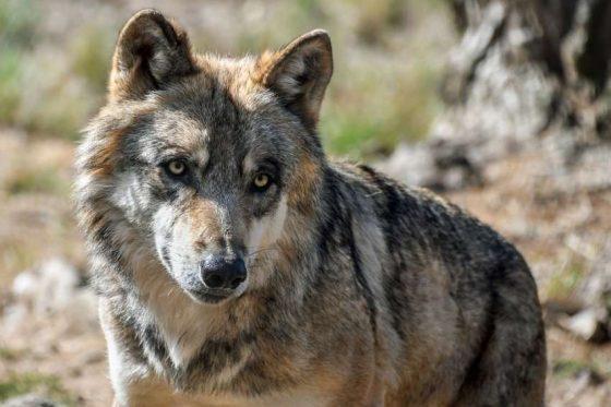 Волки в Тверской области: инструкция по выживанию