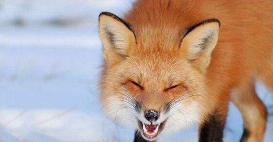 Кашин снова атакуют бешеные лисы