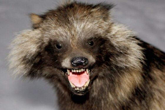 В Кимрском районе бешеный зверь поселился в собачьей будке