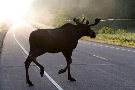Водителей Тверской области предупреждают о диких животных на дорогах