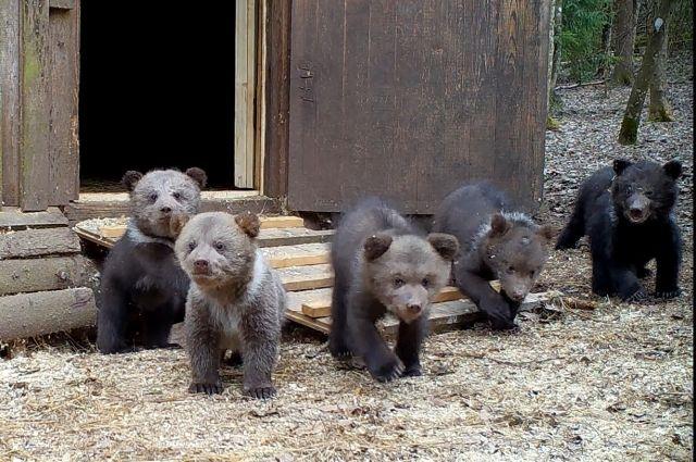 Медвежата-сироты в Тверской области впервые вышли из домиков-берлог. Видео