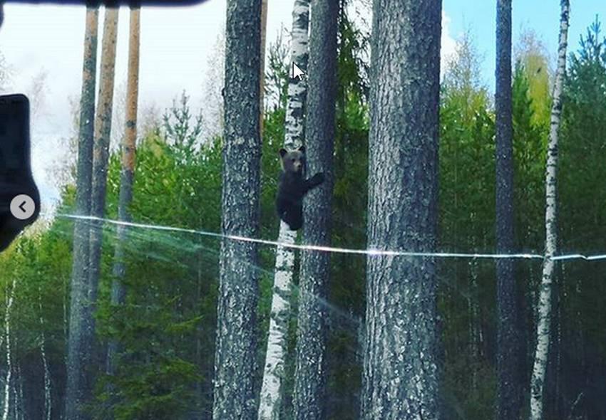 Вышневолоцкие грибники сняли на видео лазающих по деревьям медвежат