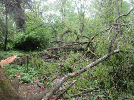 В Ботаническом саду Твери сломалось самое толстое дерево