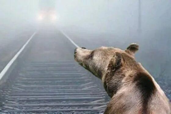РЖД оштрафовали за сбитого под Бологое медведя