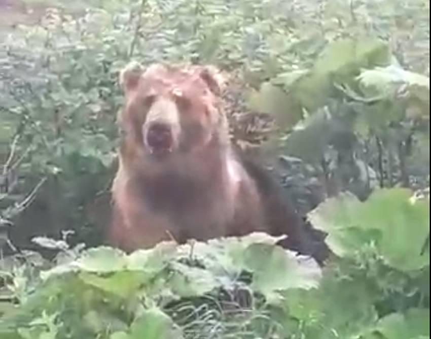 Близ мясокомбината в Конаковском районе заметили медведя