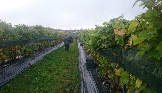 В Тверской области собрали виноград