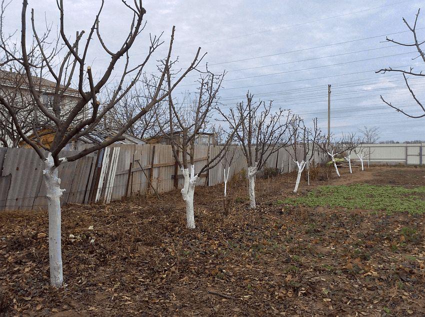 Россельхознадзор призвал садоводов и огородников побелить деревья