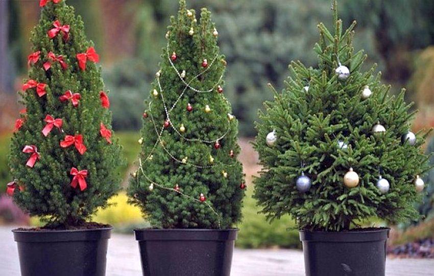 Как выбрать елку, если вы хотите высадить ее весной в грунт. Советы специалиста