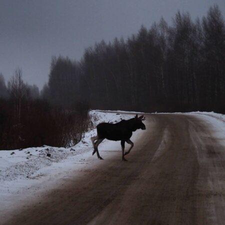 Зверь сфотографировал лося в тверских лесах