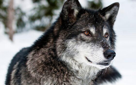 Жителей Конаковского района через соцсети предупреждают о возможном нападении волков