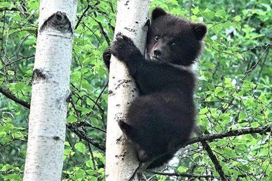 Медведица Пужа из  Тверской  области переедет в национальный парк Коми