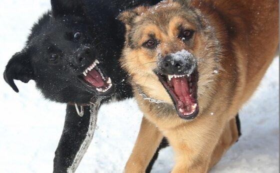 В Твери следователи СК проверяют обстоятельства нападения стаи собак на женщину