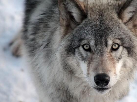В Калининском районе застрелили двух самцов и трех самок волков