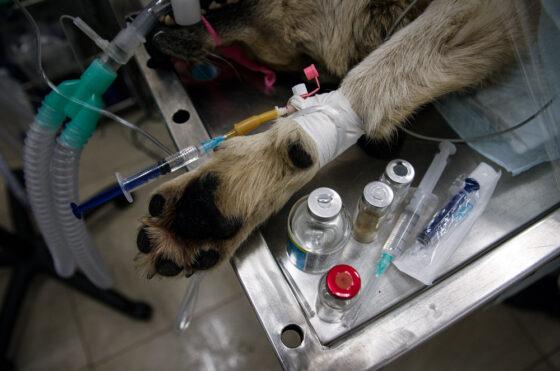 В Твери догхантеры за два дня отравили пять собак