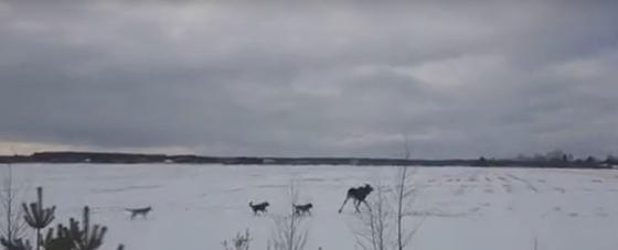 Опубликовано видео, как собаки преследовали лося под Тверью