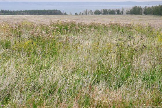 В Кимрском районе земельный  участок сельхозназначения  зарастает борщевиком