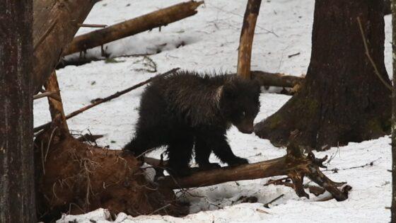 Маленькая медведица благополучно пережила сильные морозы в Тверской области