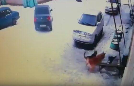 В Андреаполе собаки растерзали кошку