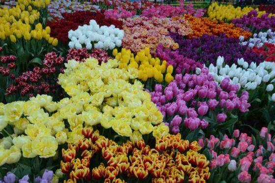 100 тысяч тюльпанов разных сортов смогут увидеть жители Твери