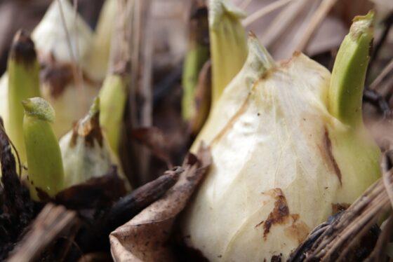 В тверском Ботаническом саду будут готовить калужницу дудчатую