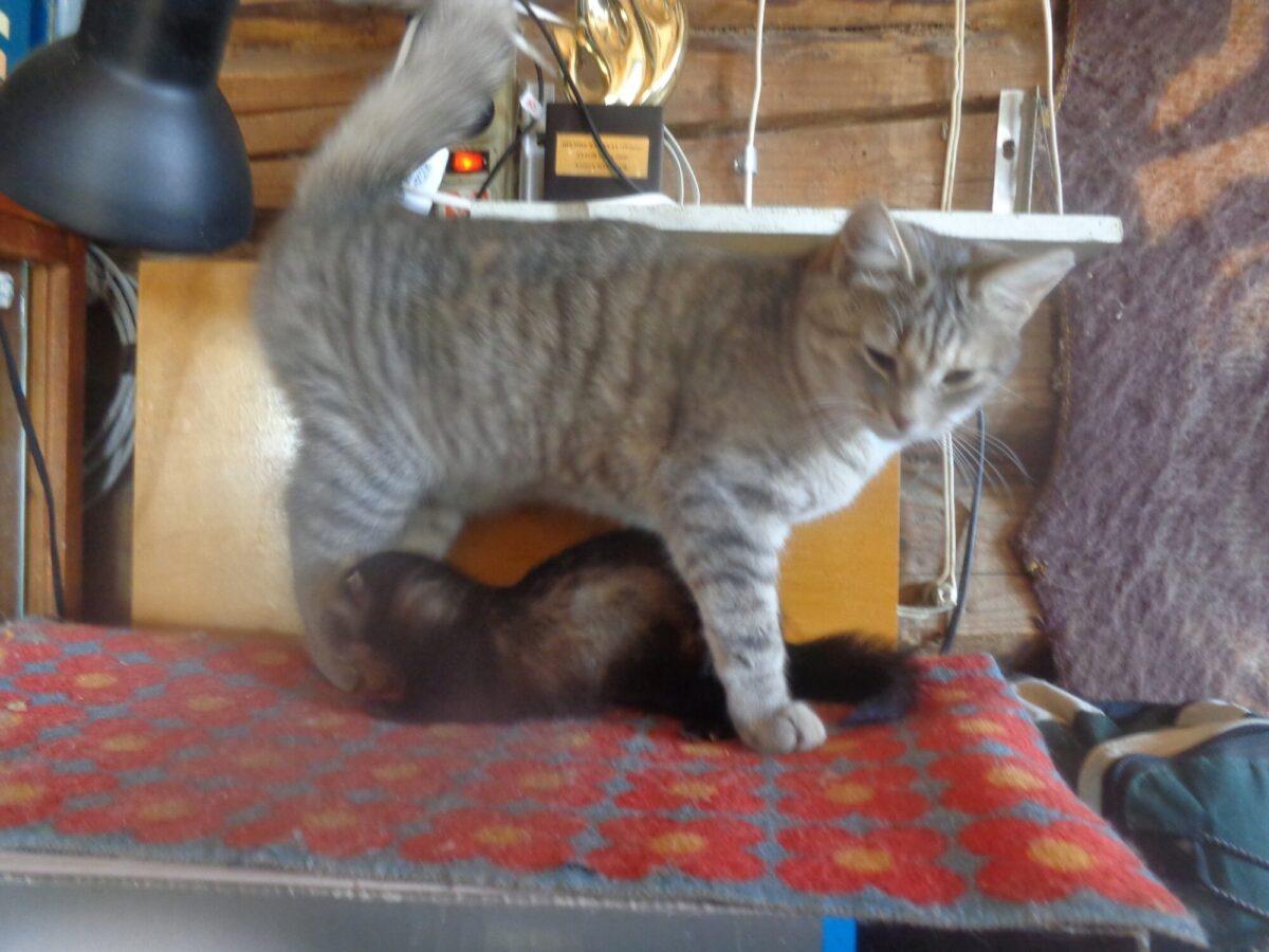 Хорек нападает на котов и выгоняет из дома людей в Тверской области