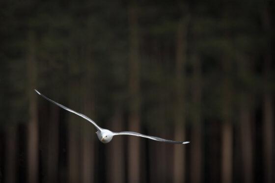 В Твери сделали удивительно красивый снимок с парящей чайкой