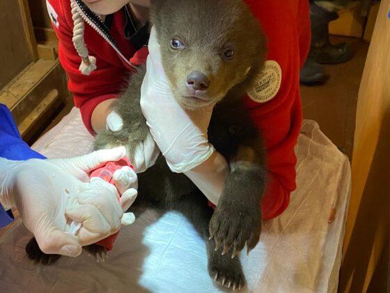 В Тверской области борются за жизнь карельских медвежат