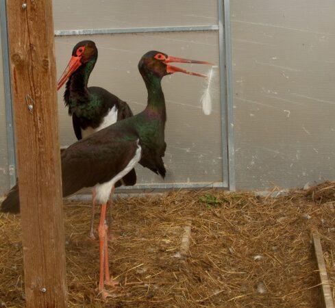 В Тверской области черные аисты строят гнездо в теплице