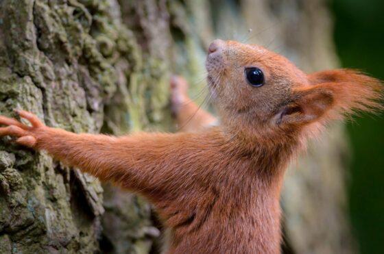 Опубликовано видео, как в Конаково белки едят кору деревьев