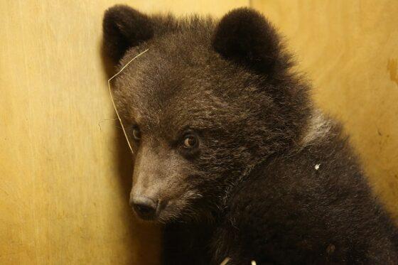 В Тверскую область из Смоленска приехала медведица Маша