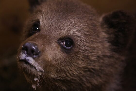 Медвежонка, найденного на помойке, привезли к Пажетновым в Тверскую область