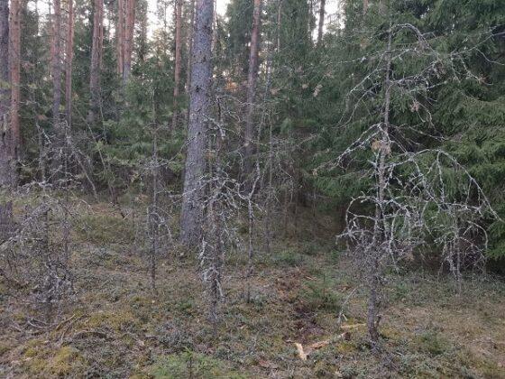 В Конаковском районе из-за лишайника сохнут леса