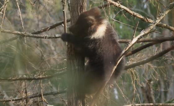 В Тверской области медведица Пужа полезла на дерево спать