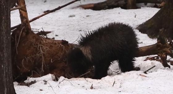 Маленькая медведица, спасенная тверскими биологами, не спешит вылезать из берлоги