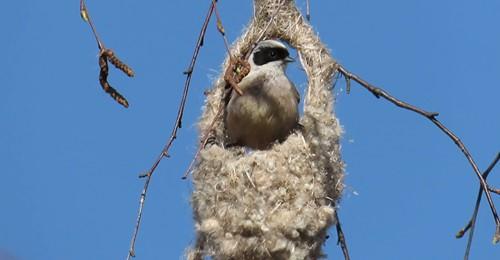 В Твери ремез показал мастер-класс по плетению гнезда