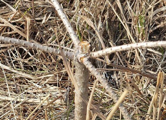 В Тверской области вандалы сломали едва прижившиеся саженцы сосен