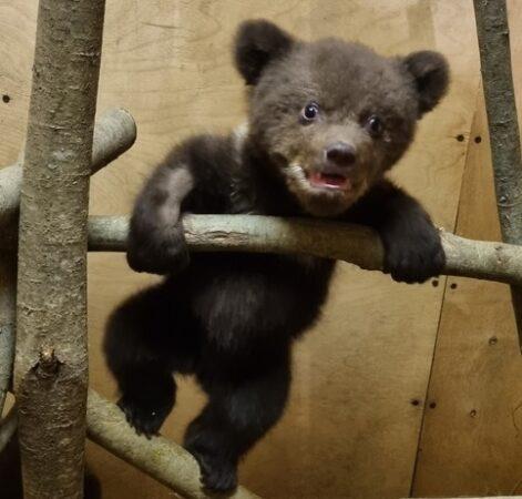После пяти тяжелейших дней медвежата пошли на поправку в Тверской области