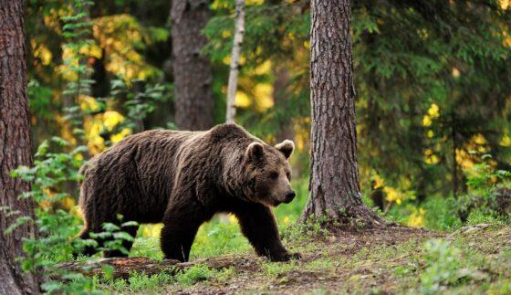 Тверские медведи меняют наш регион на подмосковную тишину и еду