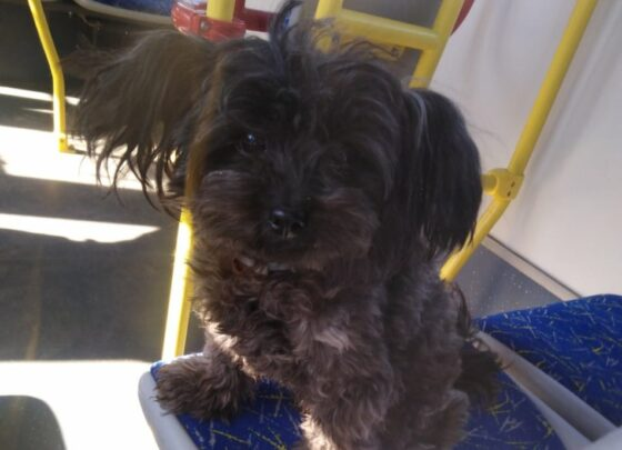 В Твери собачка Ксюша сбежала от хозяев, чтобы покататься на автобусе