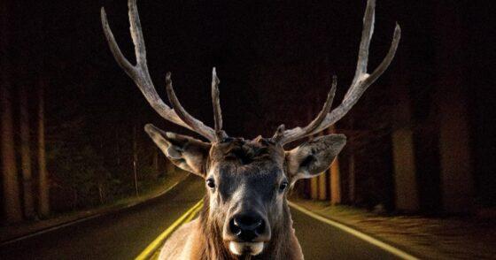 По ночам на дороги Тверской области выбегают лоси