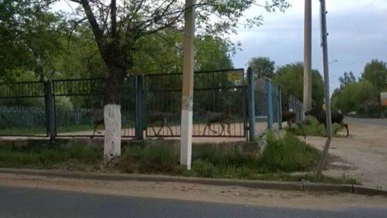 В Твери на школьный стадион прибежали семь лосей