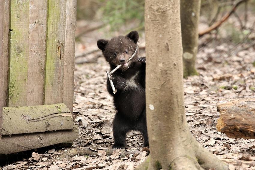 Питомцы Центра спасения медвежат-сирот в Тверской области впервые вышли в лес