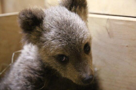 В Тверской области спасли медвежонка, загнанного собаками