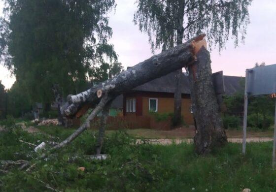 Птенцам дали выжить в сломанной березе в Тверской области