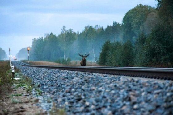 На перегоне под Тверью пассажирский поезд сбил лося