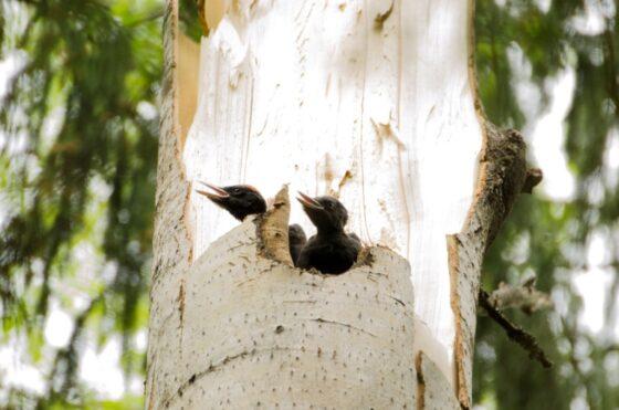 В тверском заповеднике ураган сломал дерево, но птенцы не погибли
