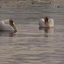 Опубликовано видео, как в Торопце лебеди танцевали на озере