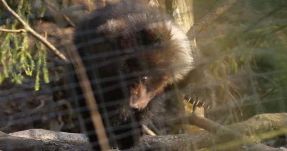На телевидении рассказали о медведице Пуже из Тверской области